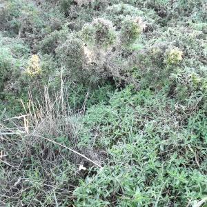 Photographie n°54572 du taxon Silene vulgaris subsp. maritima (With.) Á.Löve & D.Löve [1961]