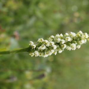 Photographie n°54627 du taxon Pseudorchis albida subsp. albida