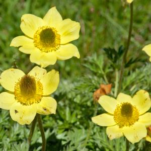 Photographie n°54644 du taxon Pulsatilla alpina subsp. apiifolia (Scop.) Nyman [1878]