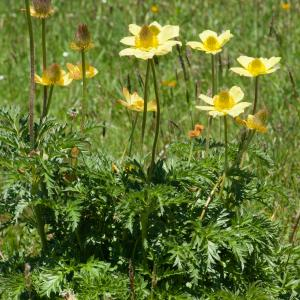 Photographie n°54645 du taxon Pulsatilla alpina subsp. apiifolia (Scop.) Nyman [1878]