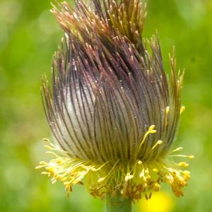 Photographie n°54647 du taxon Pulsatilla alpina subsp. apiifolia (Scop.) Nyman [1878]