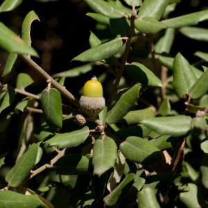 Photographie n°54658 du taxon Quercus ilex L. [1753]