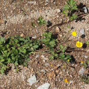 Photographie n°54667 du taxon Ranunculus repens L. [1753]