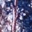 Genevieve Botti - Pistacia terebinthus L.