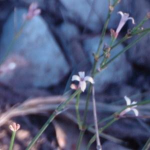 Photographie n°54695 du taxon Asperula cynanchica L.