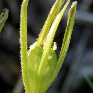 Photographie n°54735 du taxon Gagea villosa (M.Bieb.) Sweet