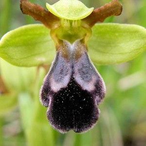Photographie n°54740 du taxon Ophrys vasconica (O.Danesch & E.Danesch) P.Delforge [1991]