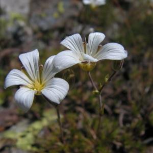 - Minuartia laricifolia (L.) Schinz & Thell. [1907]