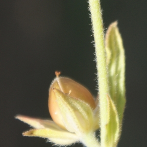 Photographie n°54748 du taxon Helianthemum ledifolium (L.) Mill.