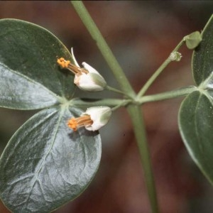 Photographie n°54766 du taxon Zygophyllum fabago L.
