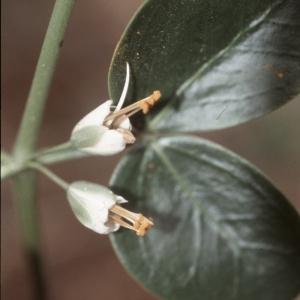 Zygophyllum fabago L. (Fabagelle)