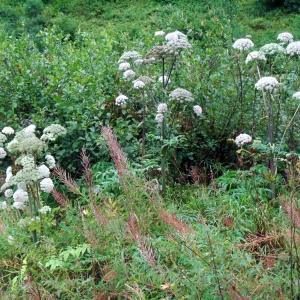 Photographie n°54986 du taxon Angelica sylvestris L. [1753]