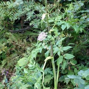 Photographie n°54987 du taxon Angelica sylvestris L. [1753]