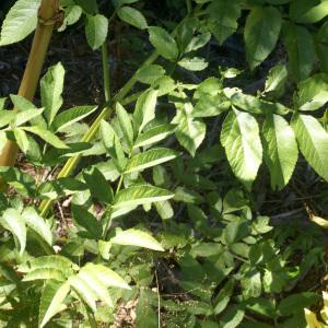 Photographie n°54989 du taxon Angelica sylvestris L. [1753]