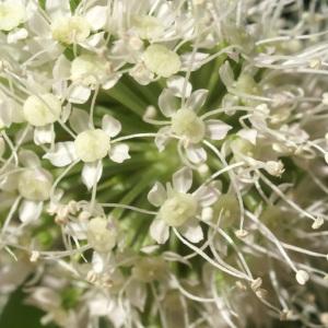 Photographie n°54994 du taxon Angelica sylvestris L. [1753]