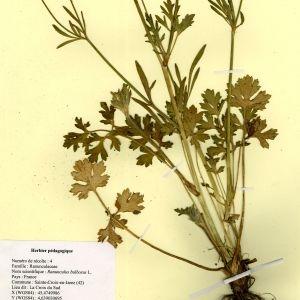Photographie n°54996 du taxon Ranunculus bulbosus L. [1753]