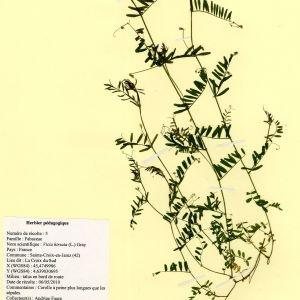 Photographie n°54997 du taxon Vicia hirsuta (L.) Gray [1821]