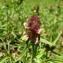 Catherine MAHYEUX - Melampyrum cristatum L. [1753]