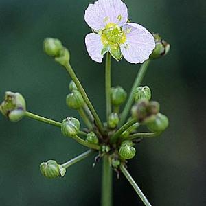 Alisma lanceolatum With. (Alisma lancéolée)