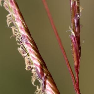 Photographie n°55110 du taxon Spartina versicolor Fabre [1850]