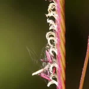 Photographie n°55112 du taxon Spartina versicolor Fabre [1850]