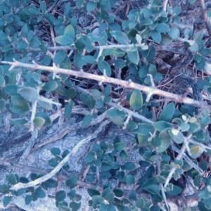 Olea europaea subsp. europaea var. sylvestris (Mill.) Lehr (Oléastre)