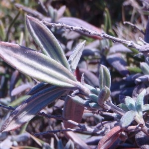 Photographie n°55205 du taxon Helianthemum syriacum (Jacq.) Dum.Cours. [1802]