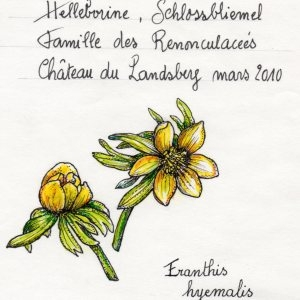Photographie n°55207 du taxon Eranthis hyemalis (L.) Salisb. [1807]