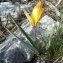 Georges Thomassier - Tulipa sylvestris subsp. australis (Link) Pamp.
