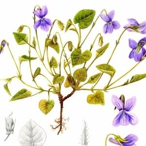 Photographie n°55214 du taxon Viola riviniana Rchb.