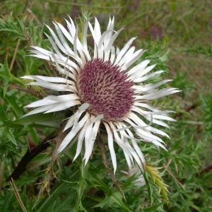 Photographie n°55316 du taxon Carlina acaulis L.