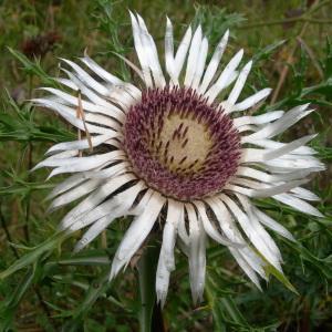 Photographie n°55317 du taxon Carlina acaulis L.