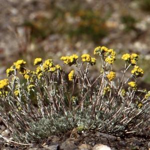 Photographie n°55331 du taxon Artemisia glacialis L.