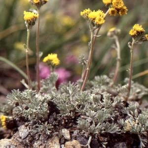 Photographie n°55336 du taxon Artemisia glacialis L.
