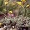 Liliane Roubaudi - Artemisia glacialis L.