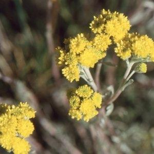 Photographie n°55337 du taxon Artemisia glacialis L.