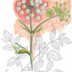 Photographie n°55372 du taxon Angelica sylvestris L. [1753]