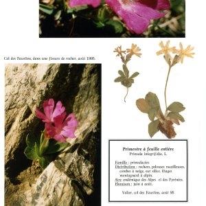 Photographie n°55385 du taxon Primula integrifolia L. [1753]