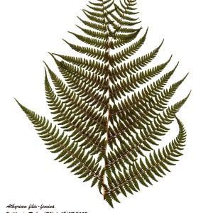 Photographie n°55387 du taxon Athyrium filix-femina (L.) Roth
