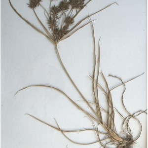 Photographie n°55388 du taxon Cyperus longus L.