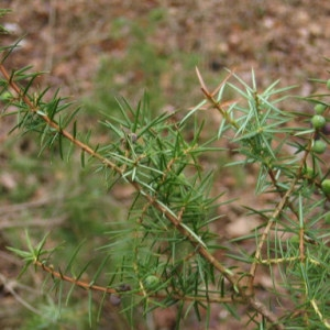 Photographie n°55396 du taxon Juniperus communis L. [1753]