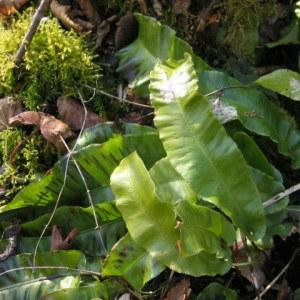 Photographie n°55408 du taxon Phyllitis scolopendrium (L.) Newman
