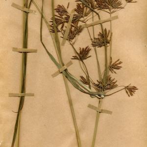 Photographie n°55416 du taxon Cyperus longus L.