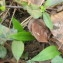 Elise AVENAS - Allium ursinum L.