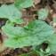 Elise AVENAS - Arum maculatum L. [1753]