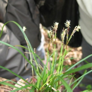 Carex digitata L. (Laiche digitée)