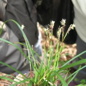 Photographie n°55420 du taxon Carex digitata L.