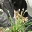 Elise AVENAS - Carex digitata L.