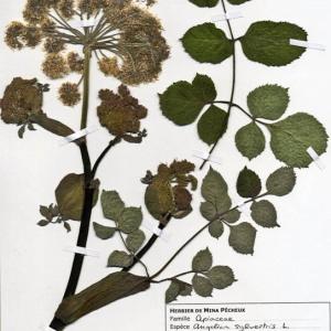 Photographie n°55435 du taxon Angelica sylvestris L. [1753]