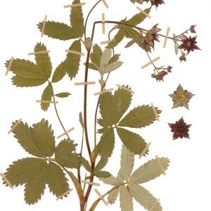 Photographie n°55439 du taxon Potentilla palustris (L.) Scop.
